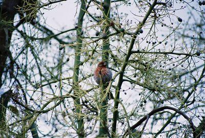 4/24/05 House Finch (Carpodacus mexicanus). In avocado tree @home in La Puente, CA