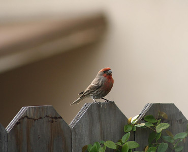 4/2/06 House Finch (Carpodacus mexicanus). La Puente (backyard of townhouse on Francisquito), LA County, CA