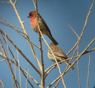 2/25/07 House Finch (Carpodacus mexicanus). San Jacinto Wildlife Area, Riverside County, CA