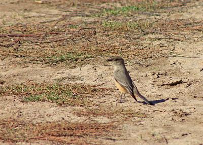 11/28/10 Say's Phoebe (Sayornis saya), on Waterline Road (heading back towards visitor center). Santa Rosa Plateau Ecological Reserve, Riverside County, CA