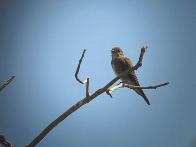 9/15/06 Olive-Sided Flycatcher (Contopus cooperi). Kyle Court property, La Cresta, Murrieta, Riverside County, CA