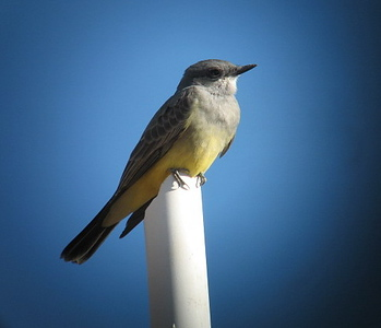12/5/07 Western Kingbird (Tyrannus verticalis).  Kyle Court Property, La Cresta, Murrieta, SW Riverside County, CA