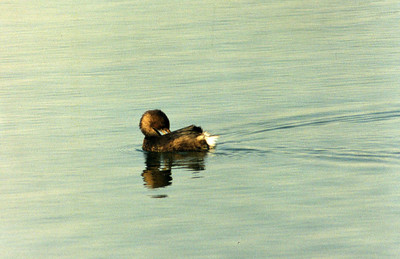 10/27/02 Pied-billed Grebe (Podilymbus podiceps). Bolsa Chica Ecological Reserve, Huntington Beach, Orange County, CA