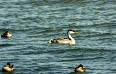 3/16/02 Clark's Grebe (Aechmophorus clarkii). Bolsa Chica Ecological Reserve, Huntington Beach, Orange County, CA