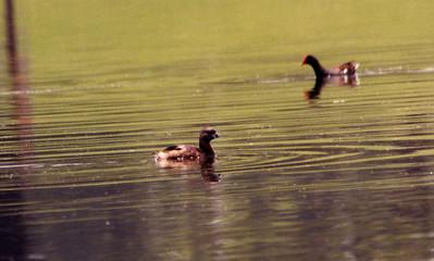 6/22/02 Pied-billed Grebe (Podilymbus podiceps). Prado Regional Park, Chino Hills, San Bernardino County, CA