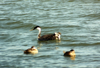 3/16/02 Western Grebe (Aechmophorus occidentalis). Bolsa Chica Ecological Reserve, Huntington Beach, Orange County, CA