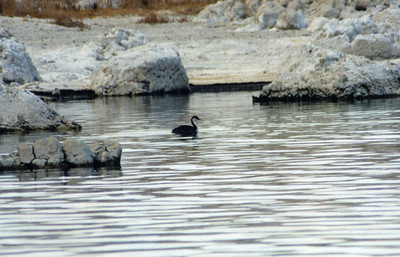 10/22/02  Western Grebe (Aechmophorus occidentalis). Mono Lake Access Area, Eastern Sierras, Mono County, CA