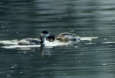 10/22/02 Eared Grebe (Podiceps nigricollis). Mono Lake Access Area, Eastern Sierras, Mono County, CA