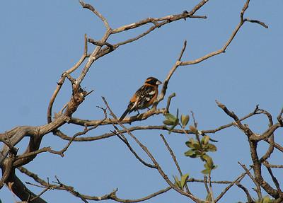 5/18/07 Black-headed Grosbeak (Pheucticus melanocephalus). Kyle Court property, La Cresta, Murrieta, SW Riverside County, CA