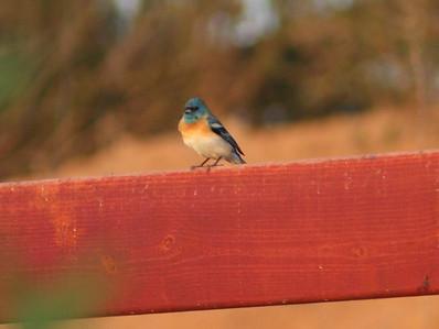 4/27/07 Lazuli Bunting (Passerina amoena). Kyle Court property, La Cresta, Murrieta, SW Riverside County,