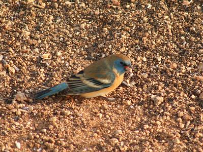 4/11/07 Lazuli Bunting (Passerina amoena). Kyle Court property, La Cresta, Murrieta, SW Riverside County,