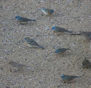 4/17/07 Lazuli Bunting (Passerina amoena). Kyle Court property, La Cresta, Murrieta, SW Riverside County,