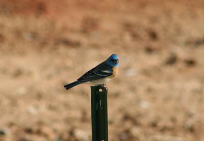 4/16/07 Lazuli Bunting (Passerina amoena). Kyle Court property, La Cresta, Murrieta, SW Riverside County,