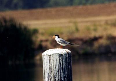 6/22/02 Forster's Tern (Sterna forsteri). Prado Regional Park, Chino Hills, San Bernardino County, CA