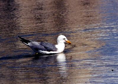 7/5/02 California Gull (Larus californicus). Mono Lake Tufa State Reserve, Eastern Sierra, Mono County, CA