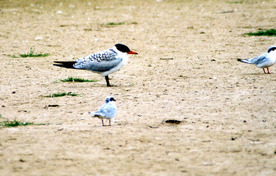 8/20/04 Caspian Tern (Sterna caspia),  Forster's Tern (Sterna forsteri) in foreground (immature?). Pismo State Beach, San Luis Obispo County, CA