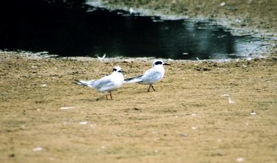 8/20/04 Forster's Tern (Sterna forsteri). Pismo State Beach, San Luis Obispo County, CA
