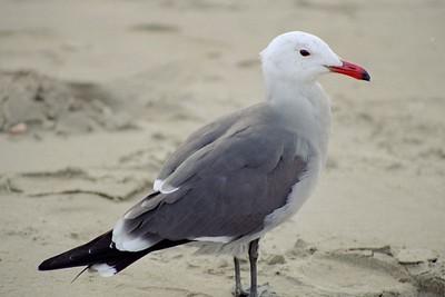 BIRDS: Gulls,Terns & Jaegers (Laridae)