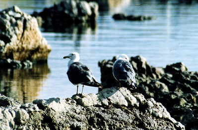 8/16/04 California Gull (Larus californicus). Mono Lake Access Area, Eastern Sierra, Mono County, CA