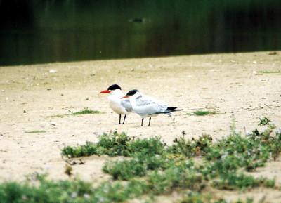 8/20/04 Caspian Tern (Sterna caspia), Pismo State Beach, San Luis Obispo County, CA