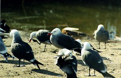 1/14/01 Heermann's Gull (Larus heermanni). Andree Clark Bird Refuge, Santa Barbara, Santa Barbara County, CA