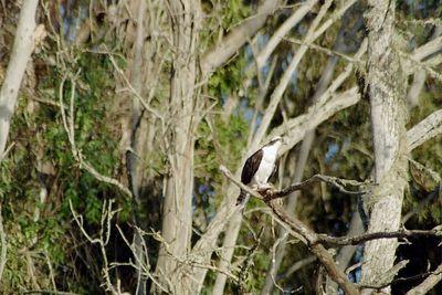 1/14/05  Osprey (Pandion haliaetus). Bay Birding Cruise, Morro Bay 2005 Winter Bird Festival, San Luis Obispo County, CA
