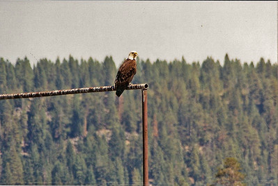 8/21/03 Bald Eagle (Haliaeetus leucocephalus). South of Fort Klamath, Hwy. 140 to Rocky Point Road. Klamath County, CA