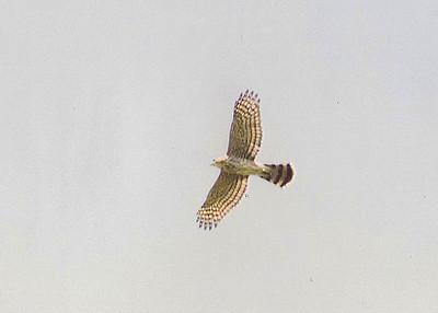 7/13/02 Cooper's Hawk (Accipiter cooperii). Upper Newport Bay Ecological Reserve. Newport Beach, Orange County, CA