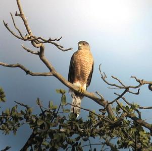 11/9/07 Sharp-shinned Hawk (Accipiter striatus). Kyle Court Property, La Cresta, Murrieta, SW Riverside County, CA