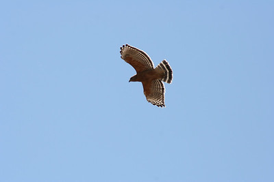 3/31/07 Red-Shouldered Hawk (Buteo lineatus). Kyle Court Property, La Cresta, Murrieta, SW Riverside County, CA
