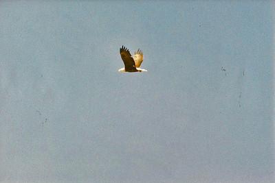 10/20/02 Bald Eagle (Haliaeetus leucocephalus). Taylor Visitor Center, South Lake Tahoe, El Dorado County, CA