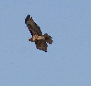 2/25/07 Red-tailed Hawk (Buteo jamaicensis). San Jacinto Wildlife Area, Riverside County, CA