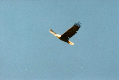 10/20/02 Bald Eagle (Haliaeetus leucocephalus). This is my first ever sighting of a bald eagle! The picture quality sucks, but it's all about sentimental quality. Taylor Visitor Center, South Lake Tahoe, El Dorado County, CA