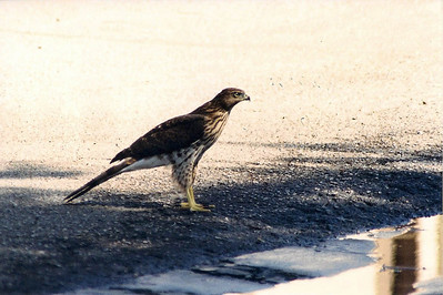 7/27/02 Cooper's Hawk (Accipiter cooperii). Parking lot in our old townhouse complex on Francisquito Ave. Los Angeles County, CA