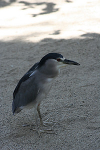 9/4/08  Black-Crowned Night Heron (Nycticorax nycticorax), Aviary, Living Desert Zoo & Gardens, Palm Desert, Riverside County, CA.