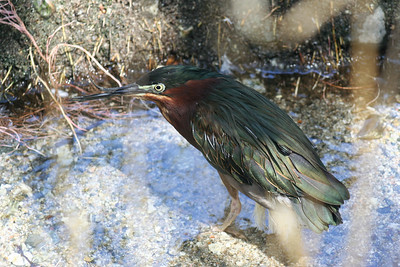 9/4/08  Green Heron (Butorides virescens), Aviary, Living Desert Zoo & Gardens, Palm Desert, Riverside County, CA.