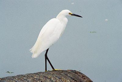 8/18/04 Snowy Egret (Egretta thula). Moss Landing State Beach, Monterey County, CA