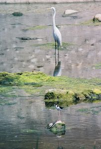 6/6/04 Great Egret (Ardea alba) & Black Necked Stilt. San Jose Creek (diversion channel of the San Gabriel River). City of Industry, Los Angeles County, CA