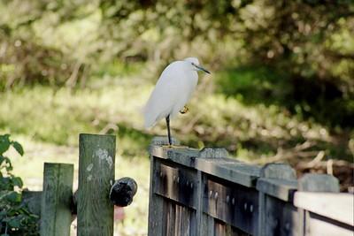 1/16/05 Snowy Egret (Egretta thula). Sweet Springs Nature Preserve, Los Osos, San Luis Obispo County, CA