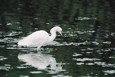 8/20/04 Snowy Egret (Egretta thula). Pismo State Beach, San Luis Obispo County, CA