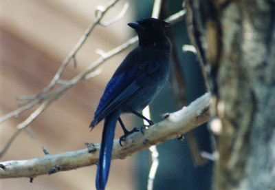 6/15/02 Steller's Jay (Cyanocitta stelleri). Chilao Visitor Center, San Gabriel Mountains, Angeles National Forest, Los Angeles County, CA