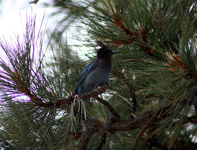 7/9/07 Steller's Jay (Cyanocitta stelleri). Shingle Mill Day Use Area, West Walker River, Toiyabe National Forest. Eastern Sierras, Mono County, CA