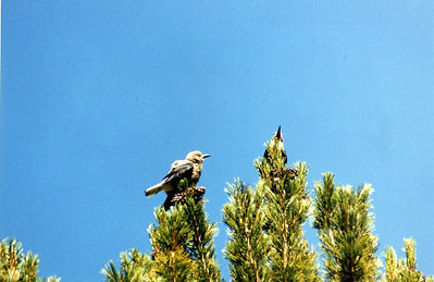 7/9/00 Clark's Nutcracker (Nucifraga columbiana). Onion Valley near campsite#18, Inyo National Forest, Eastern Sierra, Inyo County, CA