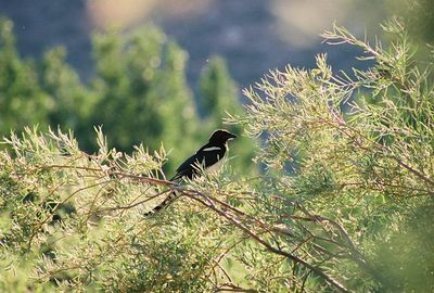 7/8/05 Black-Billed Magpie (Pica hudsonia). Convict Lake @Convict Lake Resort, Eastern Sierras, Mono County, CA