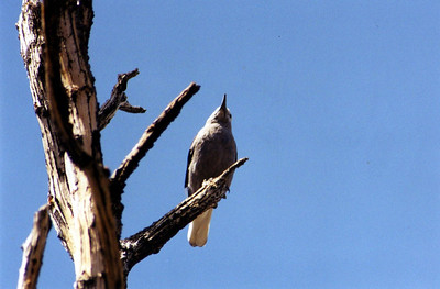7/4/02 Clark's Nutcracker (Nucifraga columbiana). >10,000 ft., Methuselah Trail, Ancient Bristlecone Pine Forest, White Mountains, Inyo National Forest, Inyo County, CA