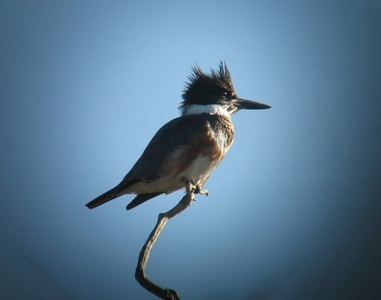 12/19/08 Belted Kingfisher (Ceryle alcyon). Kyle Court Property, La Cresta, Murrieta, SW Riverside County, CA