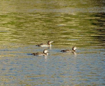 1/14/05 Common Loons (Gavia immer). Bay Birding Cruise, 2005 Morro Bay Winter Bird Festival, San Luis Obispo County, CA