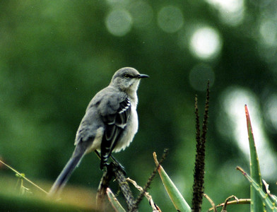 10/12/02 Northern Mockingbird (Mimus polyglottos). Los Angeles County Arboretum, Arcadia, CA