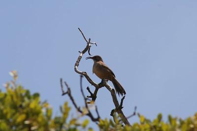 5/6/06 California Thrasher (Toxostoma redivivum). Kyle Court Property, La Cresta Murrieta. Riverside County, CA