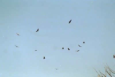 "1/16/05 Turkey Vultures (Cathartes aura). ""Heron High-Rise."" Estuary Nature Walk with docent Evelyn Dabritz @Morro Bay Winter Bird Festival."